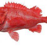 鉄腕DASHで話題の超高級魚チョウチンの正体はアコウダイ!?料理法や価格は?