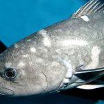 深海魚白い坊主の正体はアブラボウズ!美味しいけど食べ過ぎると下痢で危険!?食べ方や料理法は?【有吉弘行のダレトク!?】