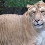 ハイブリッドアニマル ライガーの特徴や大きさは?異種交配で生まれた動物がほかにもいる!?【土曜プレミアム】